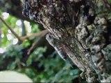 tuku-tuku蝉