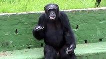 Un singe fume une clope et bouge comme un gangster ...