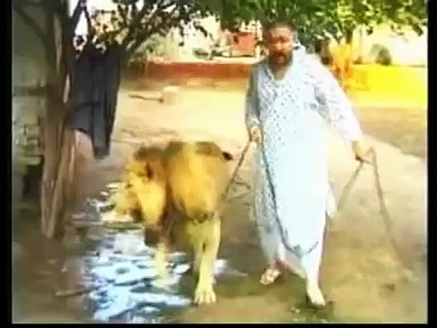 Lion whisperer - Pet Lions- Pet lion (Pakistan) Must Watch!!!
