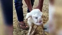 Lamb with human-like features including eyes, nose and mouth is born on a farm in Russia - Watch live streaming & best collection of recorded programs from ARY News, ARY Zauq, ARY Digital, & QTV. Way in to telefilms, dram