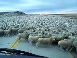 Plus grand troupeau de moutons jamais vu en pleine route au chili!