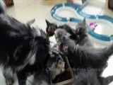 Chatons maine Coons Helfina Coons