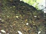 American Eels Feeding
