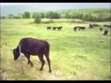 UFO - Cow Abduction
