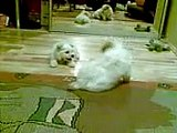 Bichon Maltese puppy barking