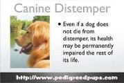 Canine Distemper - Dog Distemper - Dog Symptoms and Diseases