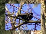 Seregély - Starling (Sturnus vulgaris)