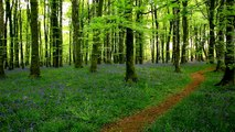 Relax in a Tranquil Bluebell Wood w/o Music-Sounds of Nature-Bird Song-Forest-3D Trees-Dawn Chorus