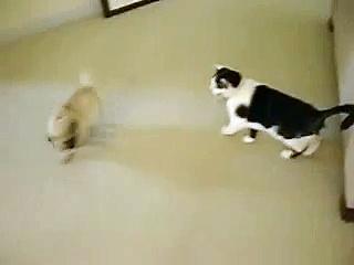 Pug Vs. Cat Fight