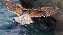 Kestrel Hunting and Hovering - Faucon Crécerelle Vol Stationnaire