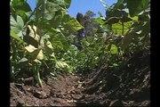 FAO 2008:Portugués Proyecto FAO/MANA apoya la agricultura Familiar en Colombia