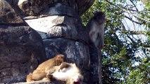 サル山のサルに注目! 千葉市動物公園2014年12月14日 00254