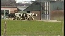 La réaction de ses vaches qui ont revu des pâturages pour la première fois depuis des mois