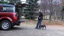 Lila (Boston Terrier) Dog Training Boot Camp Video