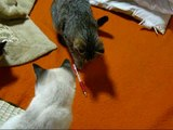 Grappinge kat in japan【いなか猫124】 ボールペンをオモチャにして遊ぶ猫(cat and ballpointo pen)・・・japanese funny cats