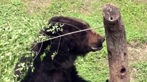 Brown bear Oliver enjoys his freedom after 30 years on a bear bile farm