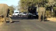 Une maman éléphant bloque la route pour laisser passer sa famille
