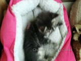 Chatons maine Coons 8 semaines (helfina coons)