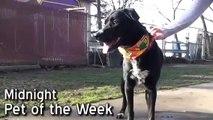 Pet of the Week: Midnight [Labrador retriever/Australian cattle dog mix]