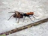 Vespa tarantula hawk - A Maior vespa do mundo - A 2° picada mais dolorida do mundo - Vespa aranha