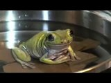 Frogs in boiling water - video dailymotion