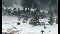 Pies Grandes Bigfoot Yeti caza Bufalos en Yellowstone. Sasquatchs persiguiendo Bisontes Americanos