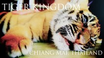 Cutest Baby Tigers EVER! - Amazing Baby Tigers! Thailand Tiger Kingdom Travel Review