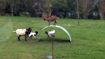 Funny Videos dancing goat Family on top of a flexible steel ribbon [PRANK]?syndication=228326
