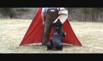 Training a Rottweiler (Schutzhund)