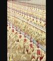 élevage de poulets CAVENCO