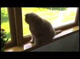 Baby Scottish Fold cat: cute munchkin kitten! Fat cats, pampered celebrity pets