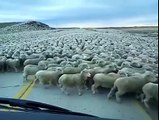 Un énorme troupeau de moutons traverse une route (Chili)