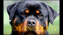 Rottweiler vs Pitbull. Pelea de Perros. Gana el....