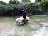 Border Collie, pastor, sheepdog, chien troupeau