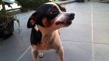 cão arrependido sorrindo, não tem como não rir - the smile of a dog sorry