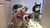 Husky & Pug Dogs eat Peanut Butter SO FUNNY!