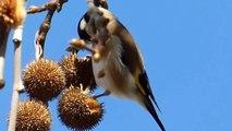 Ptice Hrvatske - Češljugar (Carduelis carduelis) (Birds of Croatia - Goldfinch) (4/8)