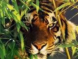 Wild Cats...nice photos of lions,tigers,jaguars,leopards