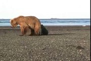 Mother Grizzly Charges- grizzly vs grizzly, alaska, cubs, katmai