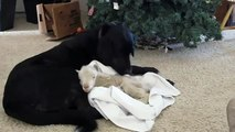Rejeté par sa mère, un agneau se fait chouchouté par le chien de famille