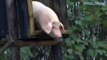 Training für Schweine: Fit durch Turmspringen