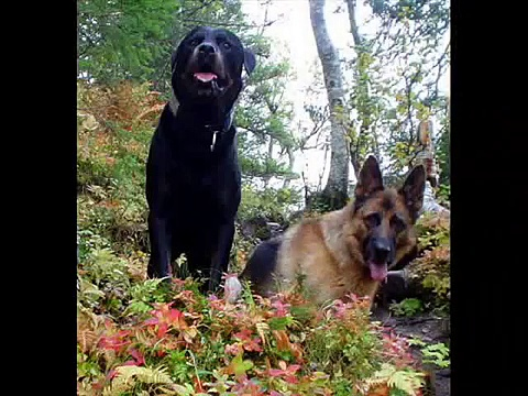 German shepard and Rottweiler
