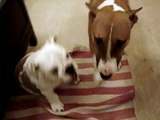 Bull terrier & brutus playing
