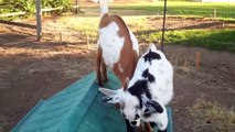 baby goats jumping and playing (Dottie & Daisy)