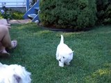 Westie puppy chats with 10 year old westie, who gets the last  bark?