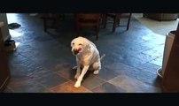Dog Tricks - Labradoodle - Tricks You can Teach Your Dog