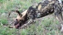 Salvaje Perros Caza Hiena - Os cães selvagens Caça da hiena