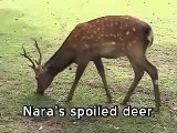 Spoiled Deer from Nara, Japan,
