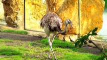 Llama Tapir Greater Rhea Patagonian Mara in oaza placed in Opole Zoo Oaza w Zoo Opole