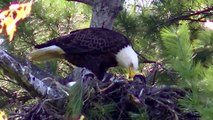 BABY EAGLETS ! Bald Eagle Nesting & Young !